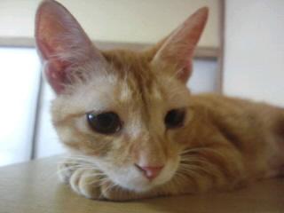 リボン里親募集!!/猫福<にゃんぷく>ふくちゃんの猫の里親募集ブログ
