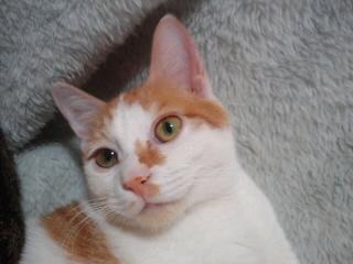 ハイジ里親募集!!/猫福<にゃんぷく>ふくちゃんの猫の里親募集ブログ