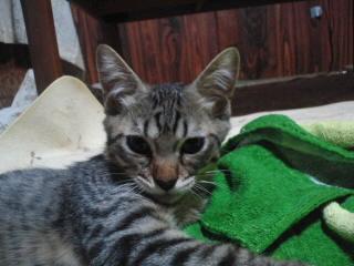 良太里親募集!!/猫福<にゃんぷく>ふくちゃんの猫の里親募集ブログ